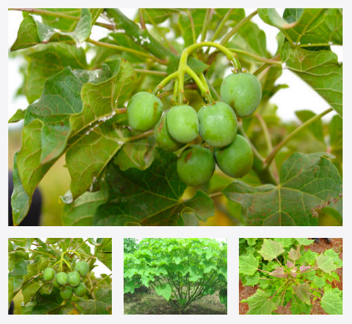 barbadosnut barbados nut malawi tree treedom environment