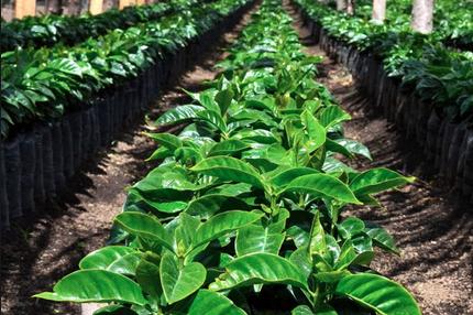 albero caffè caffe treedom fare bene all'ambiente haiti