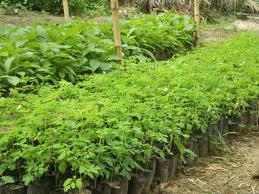 moringa haiti treedom albero ecosostenibile