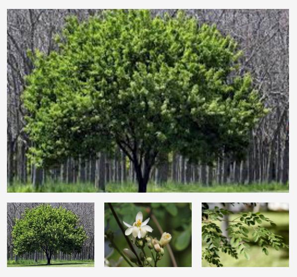 moringa treedom albero ecosostenibile